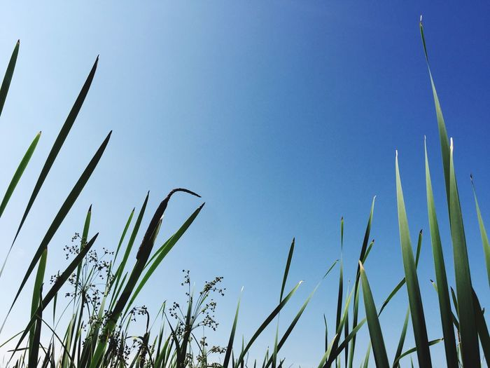 Growth Nature Plant Blue Day Green Color No People Low Angle View Outdoors Clear Sky Beauty In Nature Sky Grass Freshness The Week On EyeEm