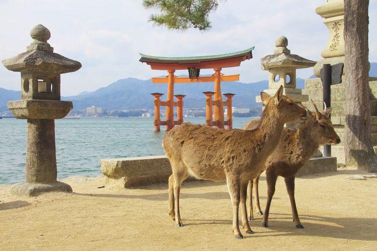 Deer Miyajima Torii Miyajima Miyajima Island Japan Japanese Culture Shinto Shrine Deersighting Deer Moments Japanese Temple Japan Scenery
