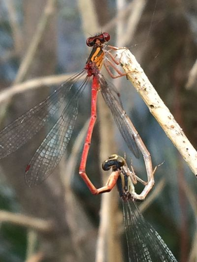 Heart of the Dragonfly Dragonflies Mating Dragonflies Focus On Foreground Animals In The Wild Outdoors Nature Animal Wildlife
