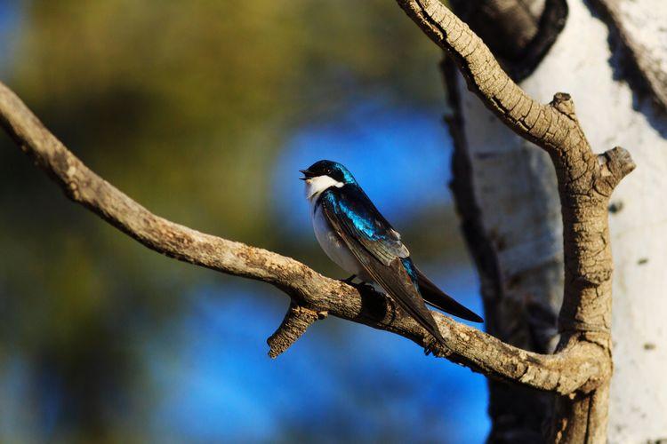 tree swallow Animal Bird Photography Wildlife Tree Swallow Blue Utah Bird Tree Perching Branch Full Length Animal Themes Close-up
