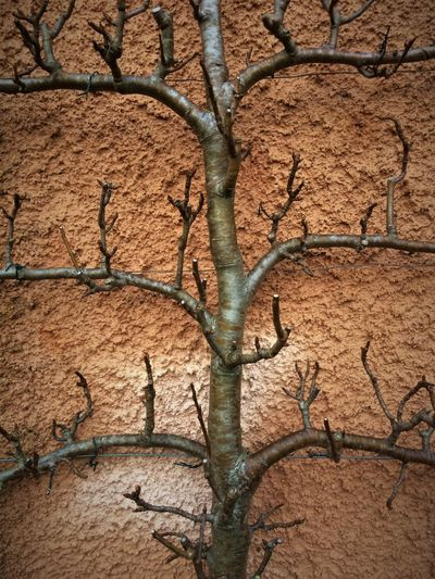 Arid Climate Backgrounds Bare Tree Branch Branches Close-up Cracked Day Nature No People Outdoors Pear Pear Tree  Training Tree Winter Garden