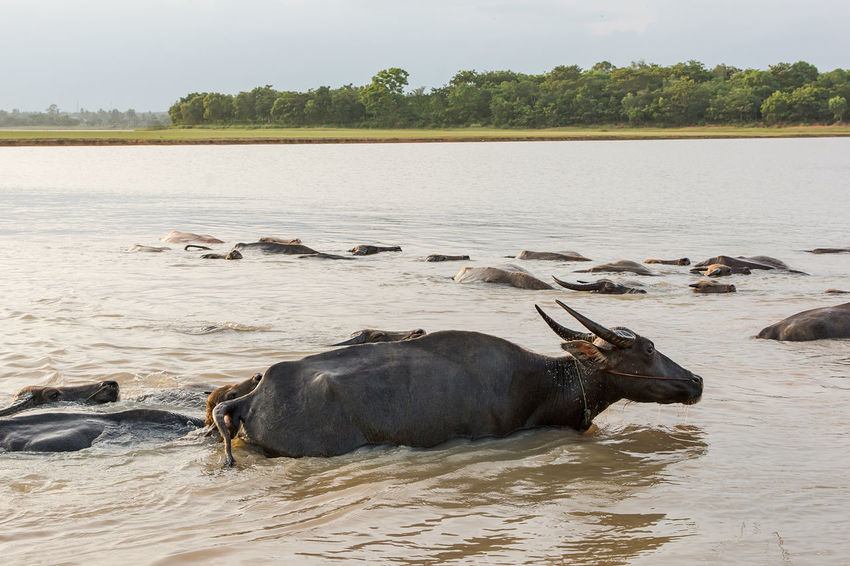 Buffalo in lake Buffalo Horizontal Riverside Swimming Water Buffalo Aisa Animal Themes Animal Wildlife Black Cow Day Domestic Group Of Animals Lake Outdoors Plant Water Animal Animals In The Wild Vertebrate Nature Swimming Travel Tree Mammal