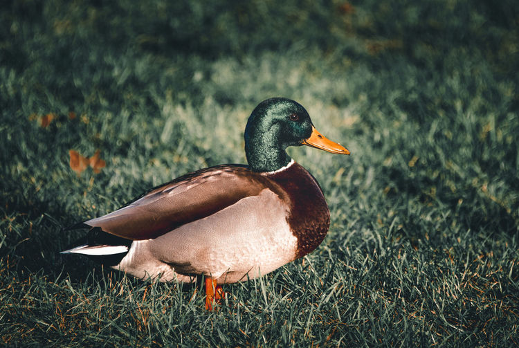 Close-up of a duck on field
