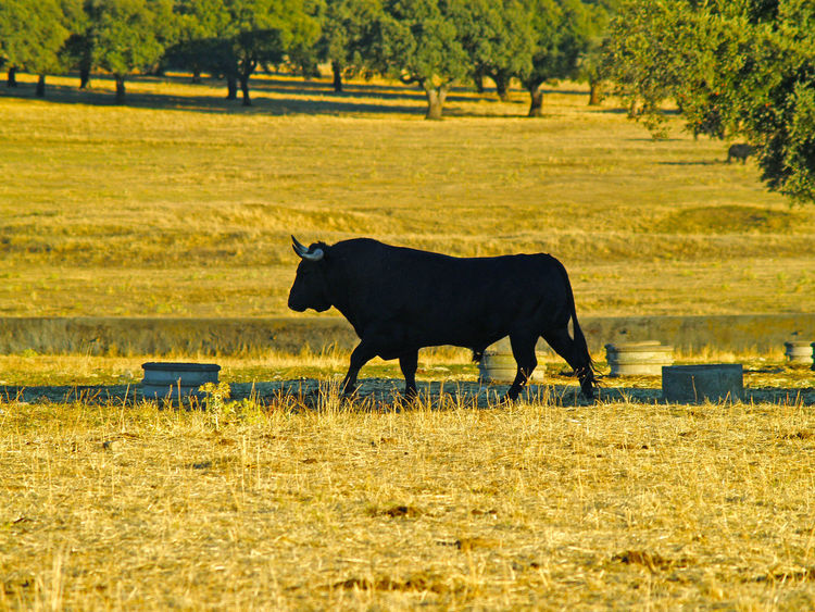 Animal Themes Bull Bullfighting Bulls Cow Cows Danger Dangerous Animals Dehesa Grass Mammal Nature No People Outdoors Pasture Pasture, Paddock, Grassland, Pastureland Power Powerful Quercus Quercus Ilex Toro Toros Tree Wild Wildlife