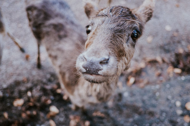 Animal Themes Animals In The Wild Close Up Close-up Curious Day Deer Domestic Animals Focus On Foreground Furry Furry Friends Goggle Livestock Mammal Nature No People One Animal Outdoors Peer Red Deer Wide-angle