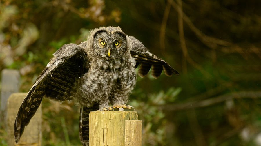A Great Grey Owl fledgling in an aggressive display on a fence post. Great Grey Owl Owl Raptor Hunter Bird Of Prey Owls Bird Bird Photography Wildlife Wildlife & Nature Wildlife Photography Animal Themes Animal Animals In The Wild Animal Wildlife One Animal Perching Wood - Material Day No People Portrait Close-up Nature Tree Wings Spread Wingspan Beauty In Nature Eyes Peircing Striking Claws Talons Spotted Encounter Nature Encounter Wild Countryside Bushes And Trees Trees Forest Fencepost Wooden Post Post Athabasca River Alberta Canada The Great Outdoors - 2019 EyeEm Awards