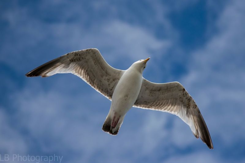In flight Flying Spread Wings Bird Animal Themes Animals In The Wild One Animal Mid-air Animal Wildlife Low Angle View Seagull Day Cloud - Sky No People Bird Of Prey Nature Outdoors Sky