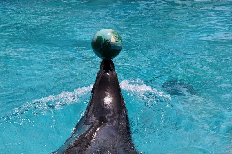 Animal Themes Animal Wildlife One Animal Sea Lion With Ball Swimming Water No People