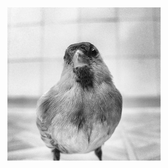 Piotr Adamczyk Photography Animal Wildlife Animals In The Wild Auto Post Production Filter Bird Close-up Day Focus On Foreground Full Length Indoors  Nature No People One Animal Perching Sparrow Transfer Print Vertebrate