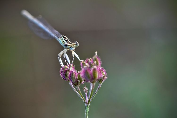 Damselfly on purple flower