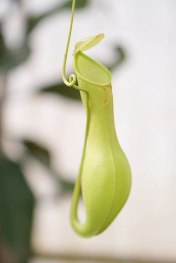 a pitfall trap of monkey cup Nepenthes  Monkey Cups Tropical Pitcher Plants Plantae Magnoliopsida Nepenthaceae Anurosperma Hallier Bandura Adans Pitfall Traps Pitcher