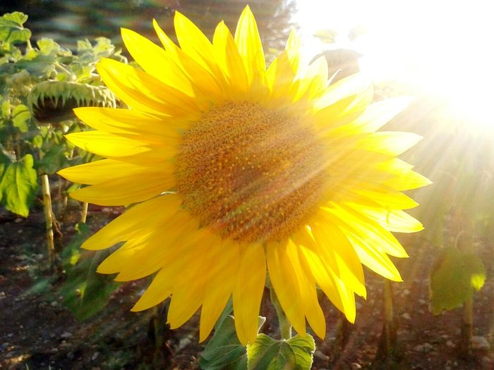 Flower Sunlight Summer Flower Head Fontanars Dels Alforins First Eyeem Photo