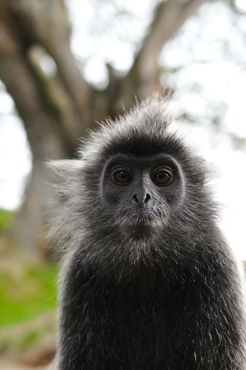 Animal Themes Animal Wildlife Animals In The Wild Ape Portrait Close-up Day Focus On Foreground Forest Looking At Camera Mammal Monkey Nature No People One Animal Outdoors Portrait Tree