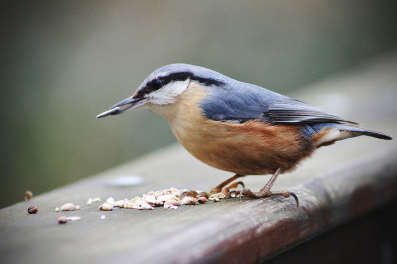 Close-up of nuthatch perching on wood
