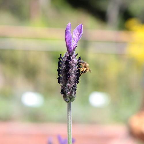ラベンダーとミツバチ Flower Head Flower Purple Close-up Plant