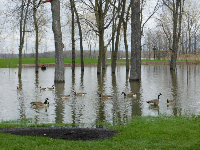 Photo prise le 9 Mai 2017 ville de Veaudreuil-Dorion Animals In The Wild Animal Wildlife Bird Water Reflection Animal Themes Nature Nature Inondation 2017 Forces Of Nature Water Bird Tree Lake Swamp Swimming Inondations Printemps 2017 Parc De La Maison Valois The Week On EyeEm