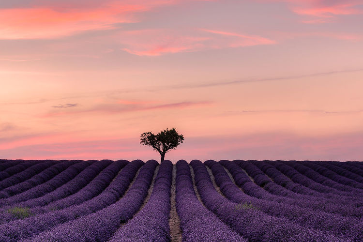 Perfect purple after sunset Provence Agriculture Beauty In Nature Cloud - Sky Environment Field Flower Growth Idyllic Land Landscape Lavender Nature No People Outdoors Plant Purple Romantic Sky Rural Scene Scenics - Nature Sky Sunset Tranquil Scene Tranquility