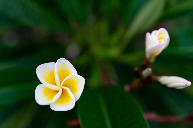 Frangipani. Plant Part Yellow Flower Beauty In Nature Close-up Flower Flower Head Flowering Plant Focus On Foreground Fragility Frangipani Freshness Growth Inflorescence Leaf Nature No People Outdoors Petal Plant Vulnerability  White Color