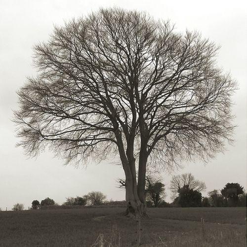Tri Trunk Tree Southdowns England Springtime 2016 Showcase April