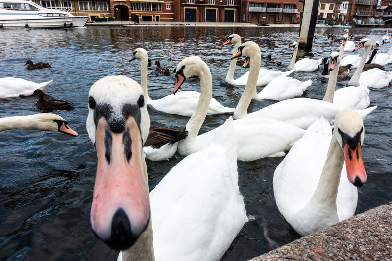Swans on a river. Swans Animal Animal Themes Animal Wildlife Animals In The Wild Beak Bird Birds Close Up Day Flock Of Birds Mute Swan No People Outdoors River Swan Water Water Bird Waterfront White White Color Wildfowl