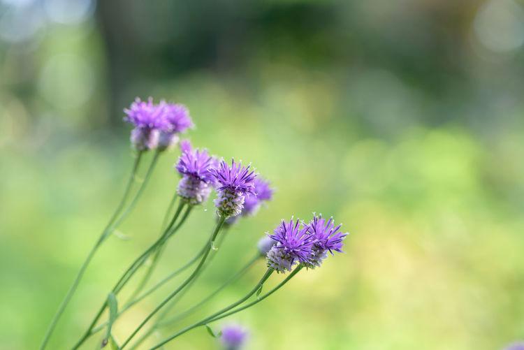 Maiden Sawwort Blossom Flower Freshness In Bloom Purple Softness Wildflower