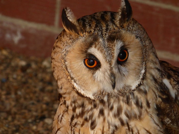 Close-up portrait of eagle owl against brick wall