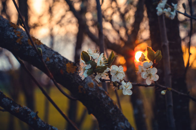 Plant Tree Flowering Plant Flower Branch Fragility Growth Beauty In Nature Vulnerability  Nature Focus On Foreground Close-up Day No People Selective Focus Freshness Outdoors Tranquility Sunlight Blossom Springtime Flower Head Spring Cherry Blossom