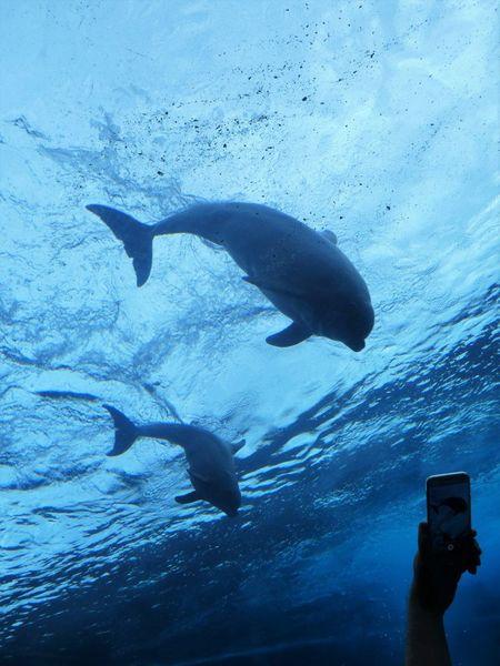 dolphins in Genova aquarium UnderSea Sea Life Water Swimming Whale Underwater Sea Aquatic Mammal Blue Humpback Whale