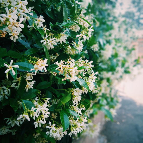 Nature Plant Outdoors Beauty In Nature Growth Day No People Close-up Leaf Green Color Fragility Flower Freshness Tree Jasmine Flower Jasmine