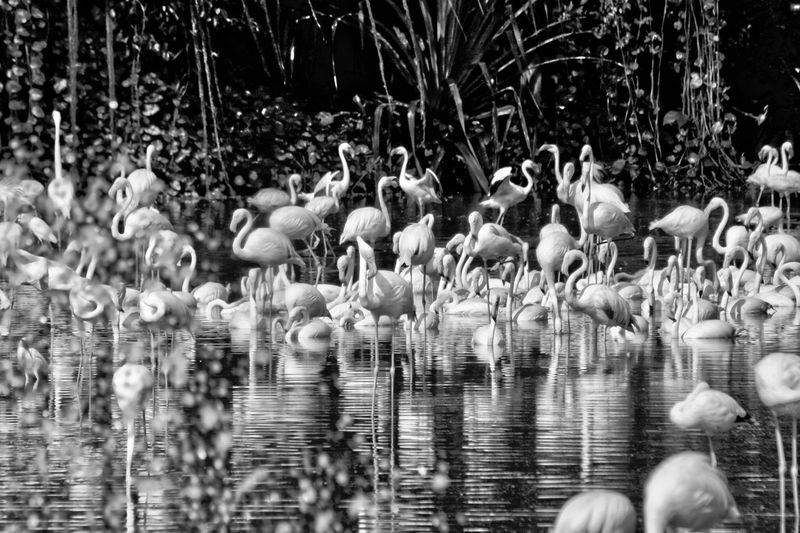 Flamingos black and white friday Flamingos Water Animals In The Wild Animal Wildlife Bird Lake Vertebrate Group Of Animals Animal Animal Themes Day Nature Waterfront No People Large Group Of Animals Reflection Beauty In Nature Outdoors Plant Selective Focus Flock Of Birds