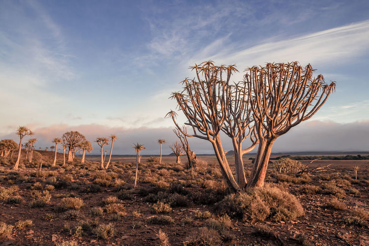 Quiver Tree forest in the light of the setting sun Nature Photography Quivertree Forest South Africa Arid Climate Bare Tree Beauty In Nature Cloud - Sky Dusk Environment Growth Isolated Land Landscape Nature No People Plant Quivertree  Remote Scenics - Nature Sunset Tranquil Scene Tranquility Tree