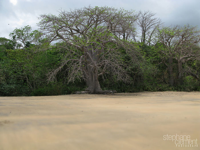 Baobab tree to Mayotte Baobab Baobab Tree Beach Beauty In Nature Day Growth Landscape Mayotte Mayotte île French Nature No People Outdoors Sand Sky Tranquil Scene Tranquility Tree