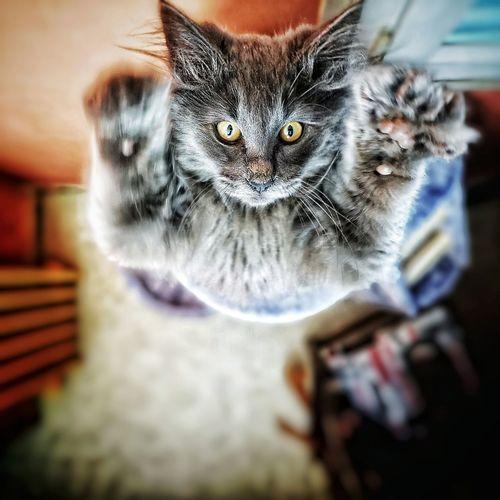 Attrape moi si tu peux... Norvegianforrestcat Pets Portrait Looking At Camera Close-up Cat At Home Domestic Cat Kitten Feline Yellow Eyes