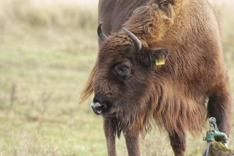 Close-up of bison on field