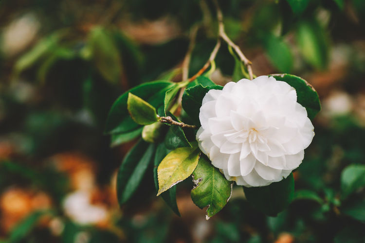 Beauty In Nature Blooming Close-up Day Flower Flower Head Focus On Foreground Fragility Freshness Growth Nature No People Outdoors Petal Plant White Color