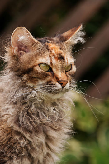Nertus, a female LaPerm cat Alertness Cat Cat Lovers Cats Cats Of EyeEm Cat♡ Close-up Concentration Curly Curly Hair Domestic Animals Domestic Cat Feline LaPerm LaPerm Cat Mammal Outdoors Rex Selective Focus Whisker