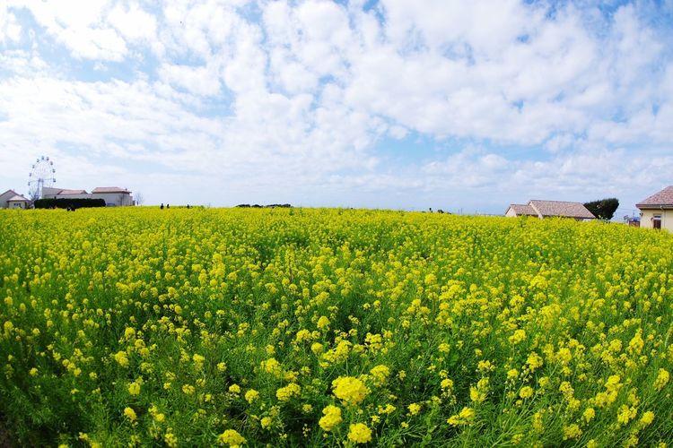 ソレイユの丘 ソレイユの丘 Pentaxk3 菜の花 Yellow