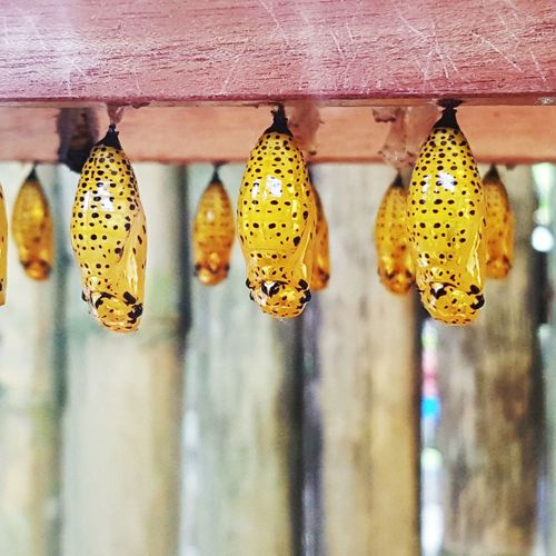 Chrysalis Chrysalis Butterfly Insect Photography Photoedit Bohol Philippines Travel Bohol2016 Travels
