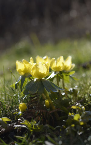 winter aconite Green Nature Plant Bloom Blooming Blossom Day Eranthis Hyemalis Flower Flower Head Garden Meadow No People Outdoors Spring Bloomer Winter Aconite Yellow
