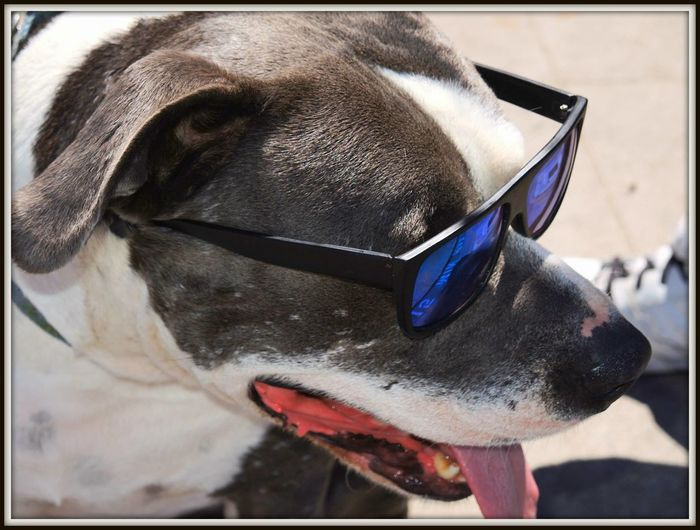 Dog Wearing Sunglasses Mans Best Friend Pet Photography  Pet Portraits Shades Animal Themes Black And White Dog Chillin Close-up Cool Dog Day Dog Dog Wearing Shades Domestic Animals Mammal No People One Animal Outdoors Pet Pets Sunglasses
