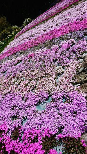 【Hyogo,Japan】a carpet of flowers 芝じゅうたん Sanda City Hyogo,japan April Moss Phlox Japan Spring Of Japan Spring Multi Colored Close-up