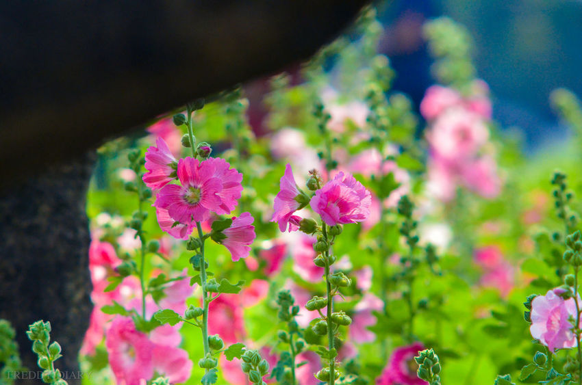 Beauty In Nature Blooming Close-up Day Flower Flower Head Focus On Foreground Fragility Freshness Green Color Growth Leaf Nature No People Outdoors Petal Pink Color Plant Purple