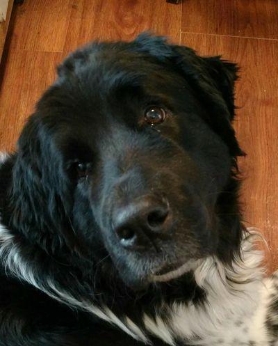 Dogs Of EyeEm Newfoundland Dog Dog Love Dog Black And White Headshot Newfy