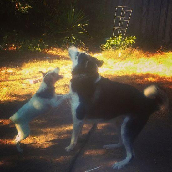 best friends!!! Jrt Jackrussell Remy Kiba Bestfriends Backyard