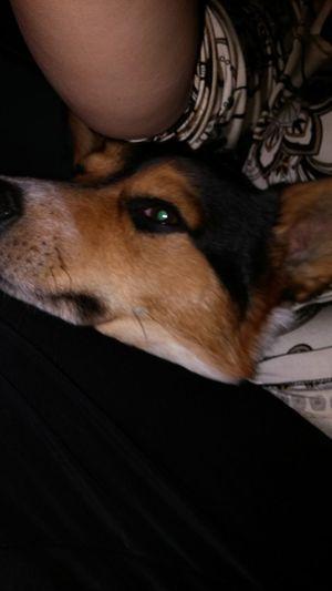 Domestic Animals Doggy ♥ Dog Dog❤ Dogs Dogslife Corgi Corgimix Cute Cute Animals Cute Pets Cute Doggy Cute Dog  Cute Pet Pet Animal