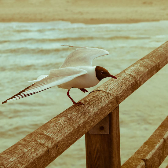 Wild seagull landing on wooden railing Landing Railing Animal Animal Themes Animal Wildlife Animals In The Wild Beach Bird Day Focus On Foreground Land Monochrome Nature No People One Animal Outdoors Perching Railing Sea Seagull Seascape Vertebrate Water Wood - Material Wooden
