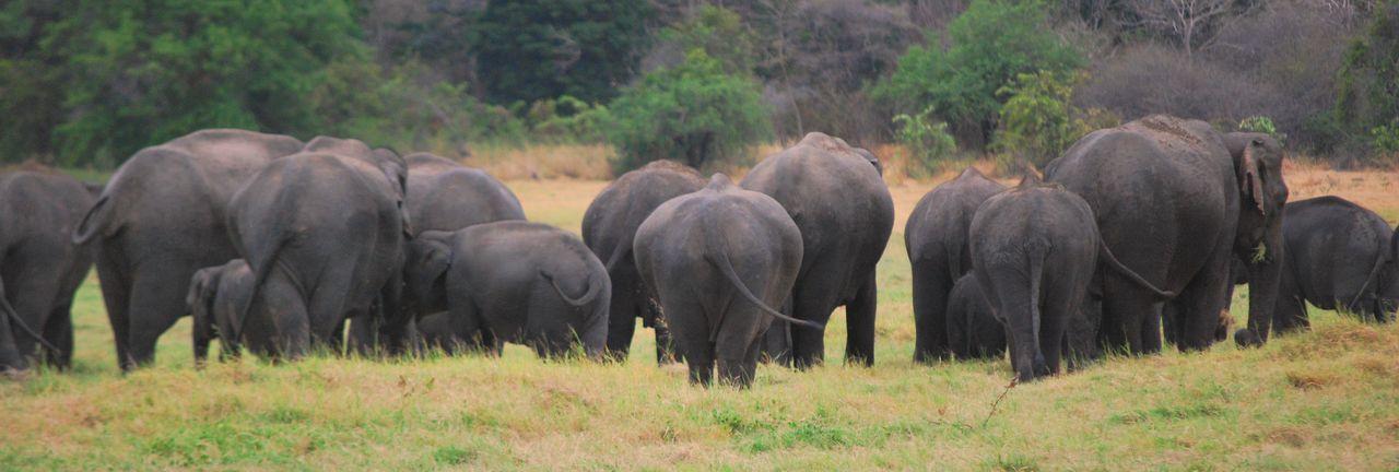African Elephant American Bison Animal Themes Beauty In Nature Bum Day Domestic Animals Elephant Elephants Field Grass Grazing Herd Large Group Of Animals Livestock Mammal Nature No People Outdoors Yala National Park Sri Lanka