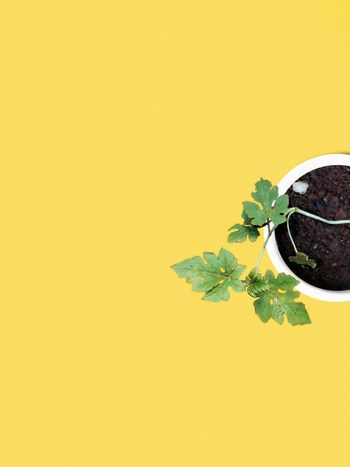 It grows without guidance. Minimalism EyeEm Best Shots EyeEmNewHere EyeEm Gallery EyeEm Selects EyeEmBestPics Urban Shadow Life Growth Growing Botany Minimal Calm Seedling Visual Creativity Yellow Backgrounds Yellow Background Leaf Colored Background Studio Shot Textured  Close-up Plant Green Color Blooming Rough Sapling Plant Life The Still Life Photographer - 2018 EyeEm Awards