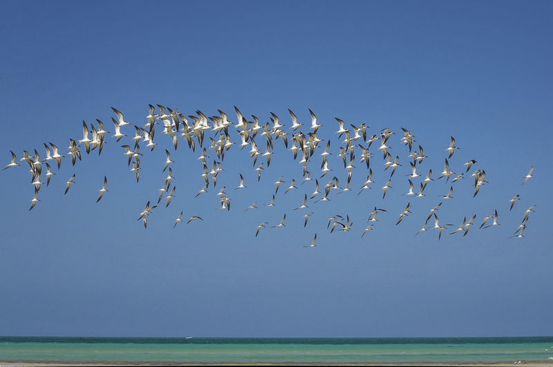 Flock of seagulls in perfect harmony over the beach of mexican island Holbox EyeEmNewHere Animal Large Group Of Animals Animals In The Wild Beauty In Nature Togetherness No People Flock Of Birds Bird Flying Animal Wildlife Clear Sky Sky Nature Horizon Over Water Sea Group Of Animals Blue Water Day Holbox Island Mexico Harmony Perfection Of Nature Animal Themes