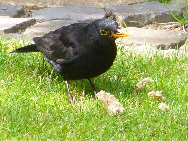 Blackbird being curious